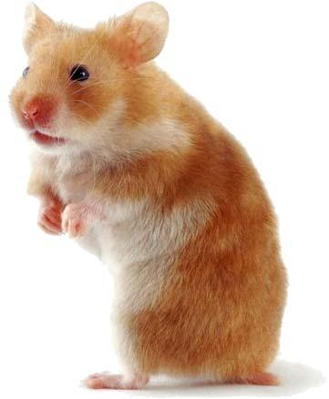 hamster Những điều cần biết trước khi nuôi Hamster