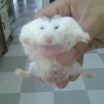 106876 150x150 Hamster Robo