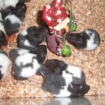1269183985 65676852 10 Fotos de HAMSTER RUSO EXOTICOS DE COLORES PANDA Y COMUN 150x150 Hamster Panda