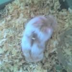 1298249877263291980 574 0 150x150 Hamster Trà Sữa