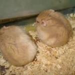 12993511331937615115 574 0 150x150 Hamster Trà Sữa
