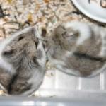 13084747211451324538 574 0 150x150 Hamster Bò Sữa