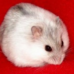 1339589370winter white trang 2 150x150 Hamster Winter White