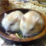 13437088902027207548 574 0 150x150 Hamster Trà Sữa
