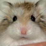 1675748 f520 150x150 Hamster Robo