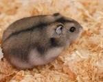 20110725235840 winter white russian dwarf hamster  150x120 Hamster Sóc