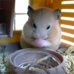 20771791 images1512794 Hamster 150x150 Hamster Bear