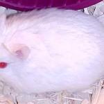 2556efa48207624b910f47a8ba18a7f6 39342232.albino 150x150 Hamster Abino