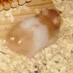 38361257133919 150x150 Hamster Bear
