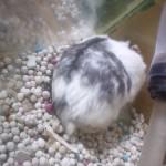 4018732708 c5cba1ae23 150x150 Hamster Panda