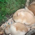 4312663478 9fd8c70171 150x150 Hamster Bông Lan