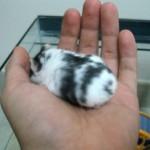 50801304 ham 150x150 Hamster Bò Sữa
