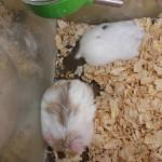 5928505991 b558543115 150x150 Hamster Bò Sữa