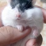 95307 150x150 Hamster Bò Sữa