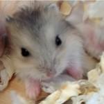 BabyHamster 1 150x150 Hamster Sóc