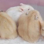 DSC 0074 copy 150x150 Hamster Bông Lan