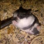 IMG00350 20110406 0721 150x150 Hamster Panda