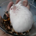 Photo0149 150x150 Hamster Abino