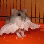 Winter white hamster 150x150 Hamster Winter White