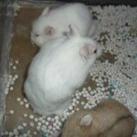abino 60k 150x150 Hamster Abino