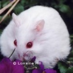 albino 150x150 Hamster Abino