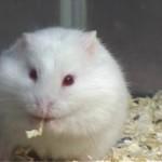 albino 017 150x150 Hamster Abino