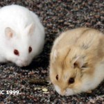 argente 150x150 Hamster Abino