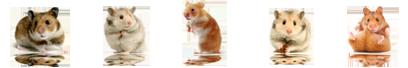 The Gioi Hamster