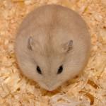 bong lan 100k 150x150 Hamster Bông Lan