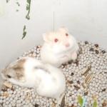 bs 150x150 Hamster Bò Sữa