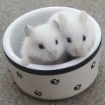 diluteopalplatinum 150x150 Hamster Abino