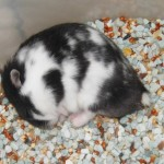 dscn5551 panda 150x150 Hamster Panda