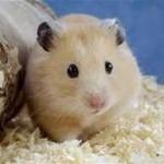 gffgf 150x150 Hamster Bear