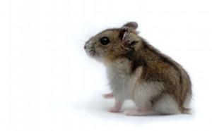 hamster_2