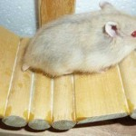 hinh4 150x150 Hamster Abino