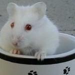 hinh9 150x150 Hamster Abino