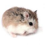 istockphoto 3009190 roborovski hamster 150x150 Hamster Robo
