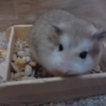 p140211175201.700x0 150x150 Hamster Robo
