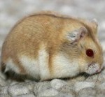 pe argente campbell zwerghamster 150x139 Hamster Abino