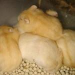 post 23156 0 13501100 1308155456 thumb 150x150 Hamster Trà Sữa