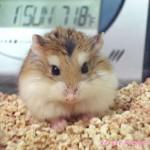 robo 150x150 Hamster Robo