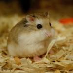 robo hamster 150x150 Hamster Robo