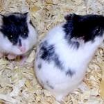 t62208 150x150 Hamster Panda