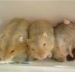 thumb 1319583574 bang.vn hamster winter white tra sua 12967541481232903122 574 0 150x145 Hamster Trà Sữa