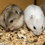 winter white dwarf hamster 69410 150x150 Hamster Winter White