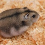 winter white russian dwarf hamster 2 150x150 Hamster Winter White